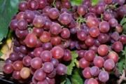 Zdjęcie do ogłoszenia: Winorośl o smaku poziomki -32°C - winogron Swenson Red