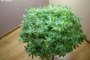 Zdjęcie do ogłoszenia: Aeonium – piękny, duży sukulent idealny na taras, do oranżerii lub mieszkania