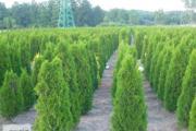 Zdjęcie do ogłoszenia: Tuja szmaragd 100-120 cm Thuja smaragd Balot Dostawa gratis