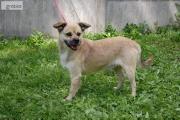 Zdjęcie do ogłoszenia: BOBI wspaniały psiak kochający ludzi poleca się do adopcji