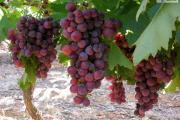 Zdjęcie do ogłoszenia: Słodki bezpestkowy winogron. RELIANCE sadzonki winorośli -27°C