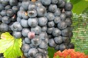 Zdjęcie do ogłoszenia: Najlepszy winogron na wino ,sok. Winorośl RONDO