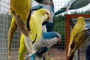 Zdjęcie do ogłoszenia: Mnicha nizinna mnichy nizinne papuga młoda do oswojenia w różnych mutacjach można nauczyć je mówić