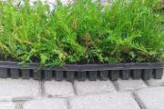 Zdjęcie do ogłoszenia: Cis Taxus Baccata Multipaleta 5-15cm Siemiatycze