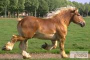 Zdjęcie do ogłoszenia: Ukraina.Ciezkie konie wlodzimierskie o duzej masie ciala w cenie3zl/kg