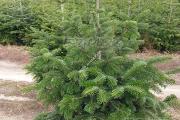 Zdjęcie do ogłoszenia: Choinka jodła kaukaska w donicy 140-160 cm Tania wysyłka