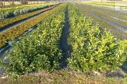 Zdjęcie do ogłoszenia: Laurowiśnia Wschodnia 'Rotundifolia' 30-50cm Wysyłka - Sadzonka