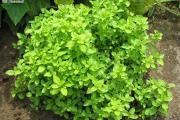 Zdjęcie do ogłoszenia: Oregano – liść suszony z domowego ogródka, świeże + sadzonki