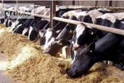 Zdjęcie do ogłoszenia: Ukraina.Byczki,jalowki 4 zl/kg.Sprzedam stada bydla miesnego,mlecznego