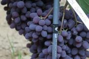 Zdjęcie do ogłoszenia: Winorośl Kiszmisz Zaporowski. Duży beznasienny winogron