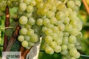 Zdjęcie do ogłoszenia: Winogrona na białe wino. Sadzonki winorośli BIANCA