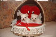 Zdjęcie do ogłoszenia: MALTANCZYK,maltanczyki-mini szczeniaczki z rodowodem