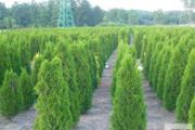 Zdjęcie do ogłoszenia: Tuja szmaragd 100-120 cm Balot Thuja smaragd Thuja smaragd