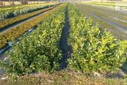 Zdjęcie do ogłoszenia: Laurowiśnia wschodnia 'Novita' 40-60cm goły korzeń - sadzonka