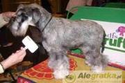 Zdjęcie do ogłoszenia: STRZYŻENIE PSÓW i Kotów salon pielęgnacji Warka , Chynów , Grójec