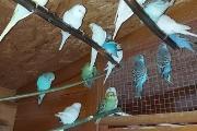 Zdjęcie do ogłoszenia: Sprzedam papugi faliste