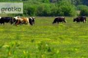 Zdjęcie do ogłoszenia: Ukraina. Fermy bydla, trzody, drobiu. Ziemia orna, wysokie plony, bazy