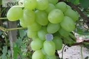 Zdjęcie do ogłoszenia: Sadzonki winorośli. Największy winogron ARKADIA 120 cm