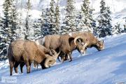 Zdjęcie do ogłoszenia: Ukraina. Owce kozy miesne 140 zl/szt, jagniecina 3 zl/kg + 10tys.ha