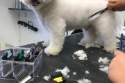 Zdjęcie do ogłoszenia: Fryzjer dla psa, Strzyżenie psów. Warka , Chynów , Grójec
