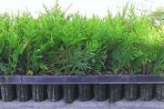 Zdjęcie do ogłoszenia: Tuja szmaragd sadzonki 15 cm Multiplata 0,60 zł/szt Tania wysyłka