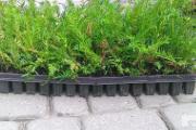 Zdjęcie do ogłoszenia: Cis Taxus Baccata Multipaleta 5-15cm Zambrów