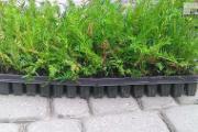 Zdjęcie do ogłoszenia: Ostrowiec Świętokrzyski Cis Taxus Baccata Multipaleta 5-15cm