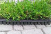 Zdjęcie do ogłoszenia: Jasło Cis Taxus Baccata Multipaleta 5-15cm