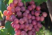 Zdjęcie do ogłoszenia: Słodki winogron. EINSET SEEDLESS Sadzonki winorośli
