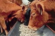 Zdjęcie do ogłoszenia: Ukraina.Krowy,jalowki,mleko 3,8%.Cena 0,90 zl/litr