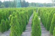 Zdjęcie do ogłoszenia: Tuja szmaragd 100-120 cm Balot Thuja smaragd Dostawa gratis
