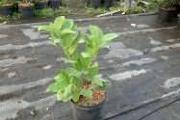 Zdjęcie do ogłoszenia: Laurowiśnia Wschodnia 'Rotundifolia' 30-50cm Donica 2L