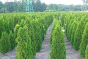 Zdjęcie do ogłoszenia: Tuja szmaragd 100-120 cm Dostawa gratis Balot Thuja smaragd