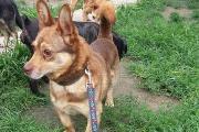 Zdjęcie do ogłoszenia: GONZO – brązowy niewielki piesek szuka domu